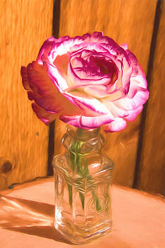 Country Pink and White Rose by Daphne Sampson