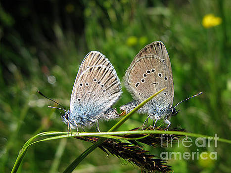 Murielle Sunier - Couple of butterflies 5064