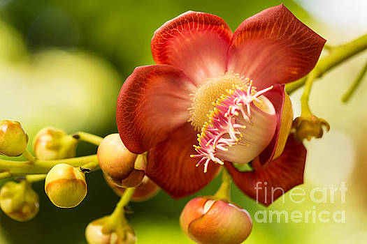 Couroupita Guianensis Flower by Eyzen M Kim