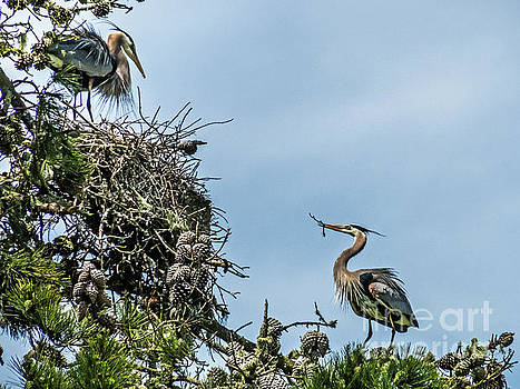 Courting Herons 1 by Kate Brown