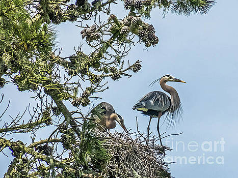 Courting Herons 2 by Kate Brown