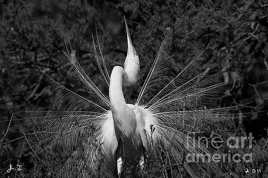 Great Egret Courtship Plumes by John F Tsumas