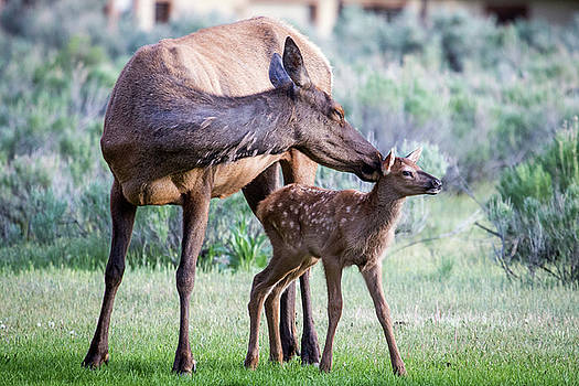 Cow and Calf Elk by Wesley Aston