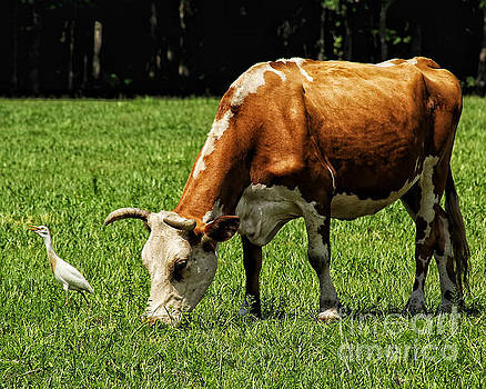 Cow and Cattle Egret by John Eide