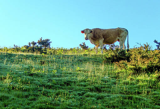 Cow at Orisson by Mike Shaw