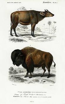 Cow Bos brachyceros and Bison Bos americanus  by Charles Dessalines D' Orbigny