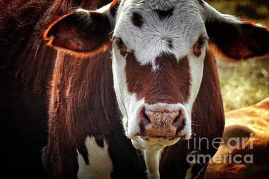 Cow Face Portrait - at the Ranch by Ella Kaye Dickey