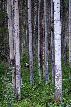 Cow in Aspen Trees by Mary Lee Dereske