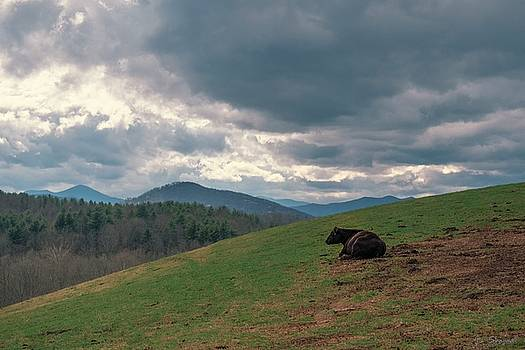 Cow in Pasture by Brian Shepard
