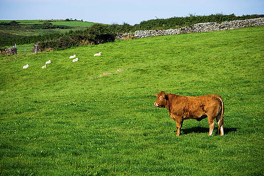 Mike Shaw - Cow in Pasture
