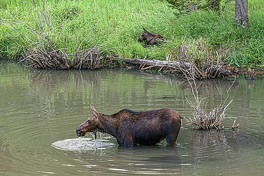Cow Moose and Calf by James BO Insogna