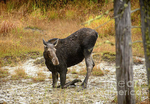 Cow Moose getting a drink by Alana Ranney