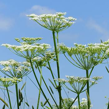 Cow Parsley heads by Sarah Fowle