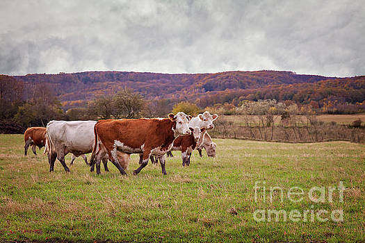 Cow sand calfs on pasture by Sophie McAulay