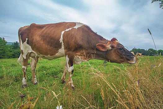 Cow Tasting Test by Bob Orsillo