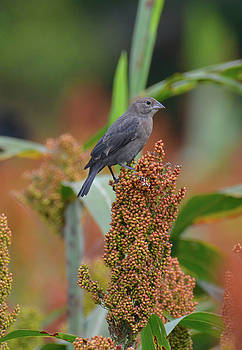 Cowbird feasting on Milo and Shiloh Military Park in Tennessee by WildBird Photographs