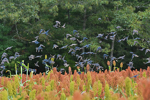 Cowbirds in flight over milo fields in Shiloh National Military Park by WildBird Photographs