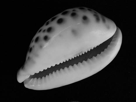 Mary Deal - Cowry Shell in Black and White