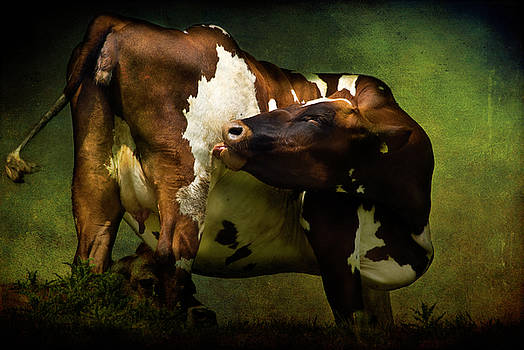 Cows Bum by Audran Gosling