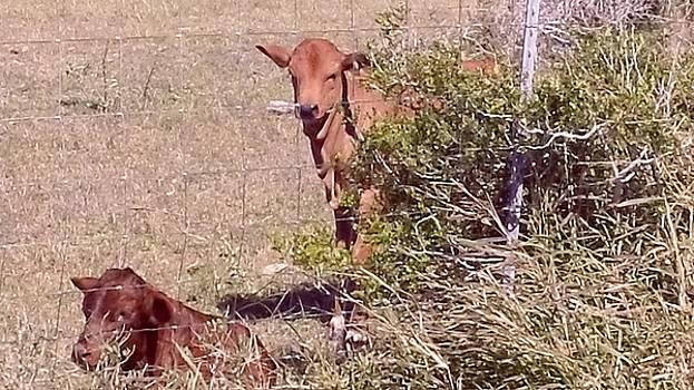 Cows by Chris Melaga