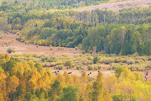 Cows grazing among fall-colored Aspens by Alexander Kunz