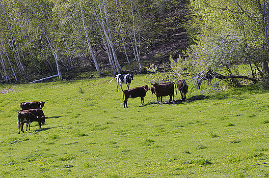 Cows in a Pasture by Michelle Hoffmann