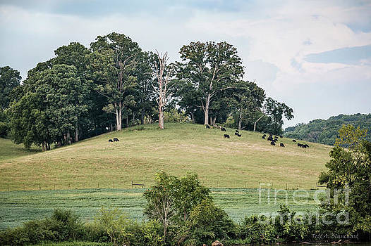 Cows On A Hill by Todd Blanchard