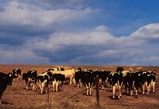 Cows unbranded by Leonard Rosenfield