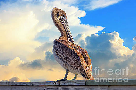 Coy Pelican by Richard Burr