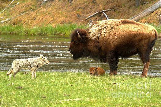 Adam Jewell - Coyote Bison Staredown
