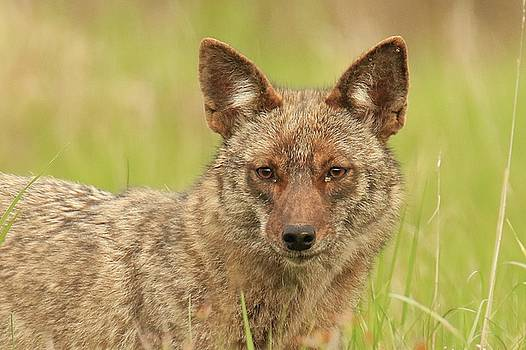 Coyote Close Up by Rod Flauhaus