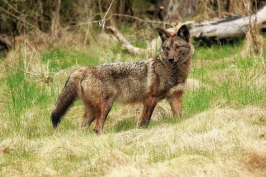Coyote in field by Rod Flauhaus