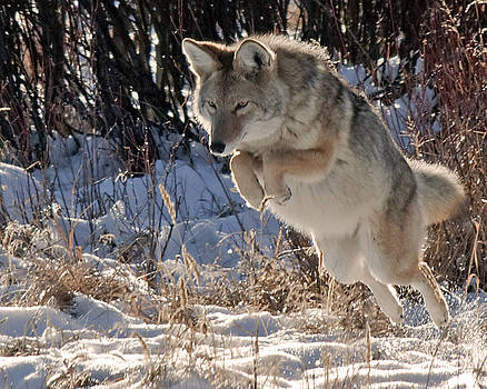 Coyote In Mid Jump by Gary Beeler