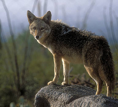 Sandra Bronstein - Coyote in Ocotillo Trees