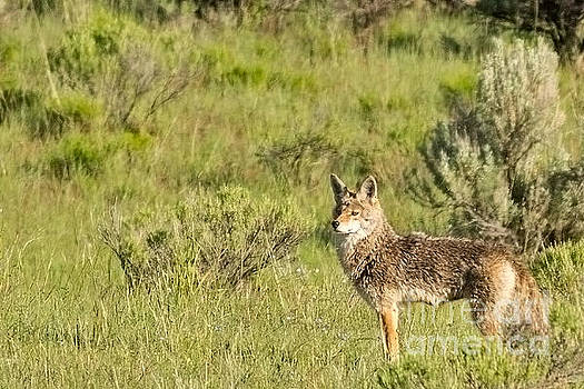 Coyote in the Sagebrush by Natural Focal Point Photography