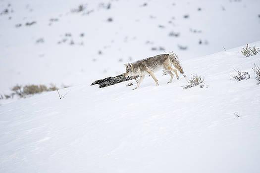 Coyote in Yellowstone by Brad Scott