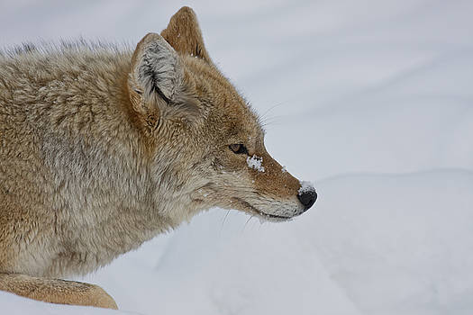 Coyote by Larry Hughes