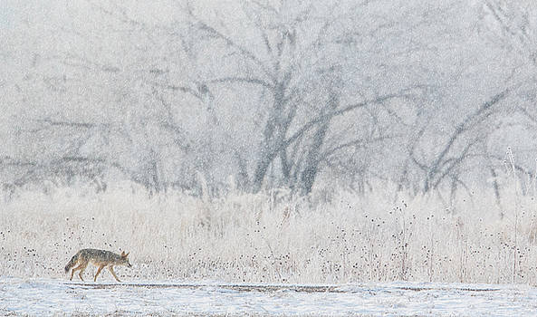 Coyote On The Hunt by Kelly Marquardt
