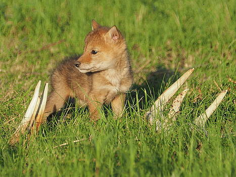 Coyote Pup and Antlers by James Peterson