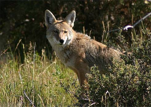 Coyote Resting by Perspective Imagery
