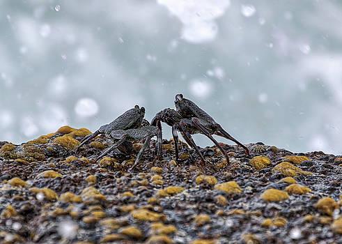 Susan Rissi Tregoning - Crab Fight