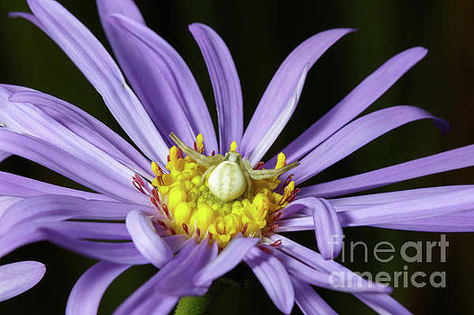 Crab Spider - Misumena vatia - on Purple Aster flower by Paul Farnfield