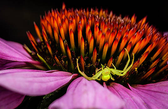 Crab Spider on echinacea blossom by Gary Shepard