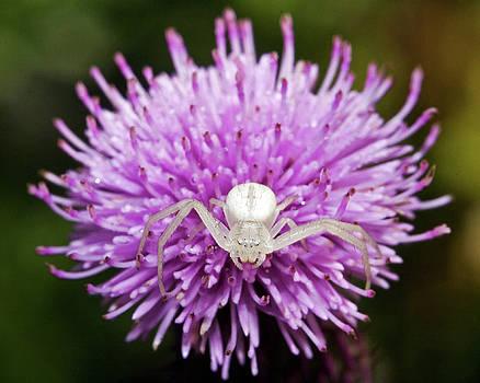 Crab Spider on Purple by Jaci Harmsen