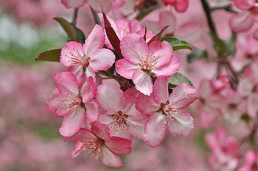Crabapple Blossoms by Gerald Hiam