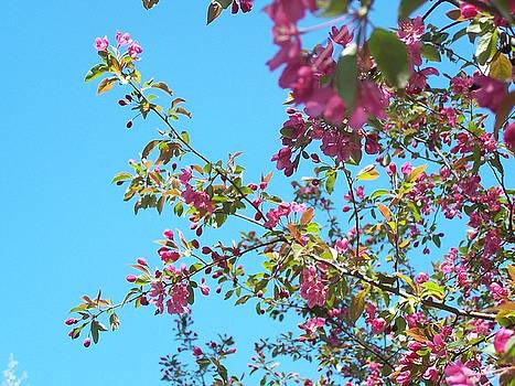 Crabapple in bloom  by Karen Phillips
