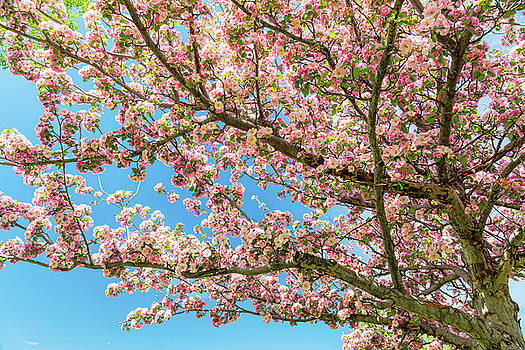 Crabapple Tree Pink Spring Blossoms by James BO Insogna