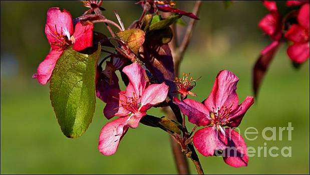 Crabapple Trio by Julia Hassett