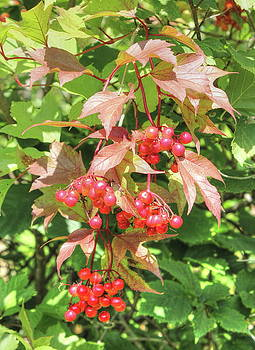 Cranberry Cluster by Jim Sauchyn
