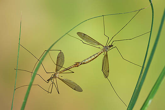 Yuri Peress - Crane Fly in Love